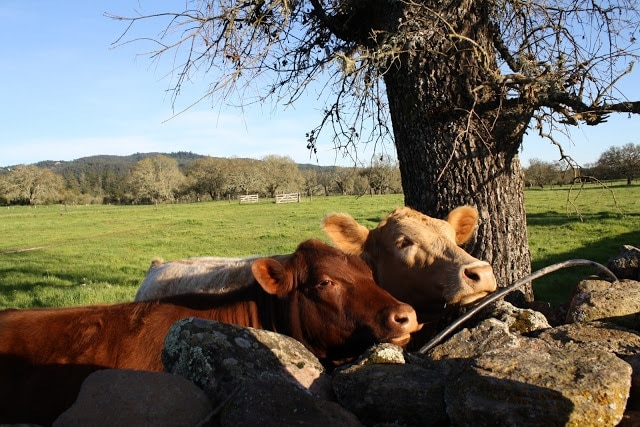Cows standing next to a tree.