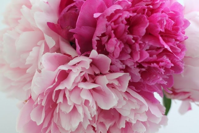 A close up of light and dark pink flowers.