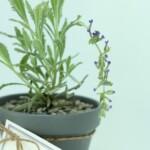 DIY Lavender Pots