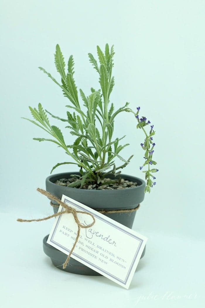 pot of lavender against an aqua background, gift tag attached
