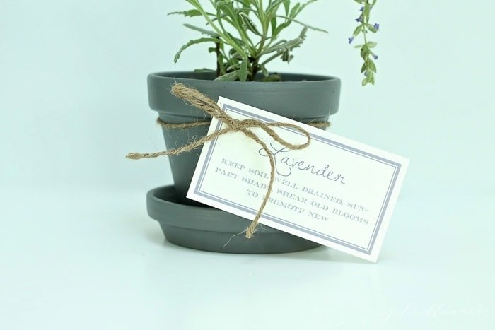 printed tips for growing lavender in pots, attached to a potted lavender plant.