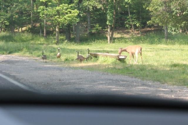 deer and geese and lone elk park