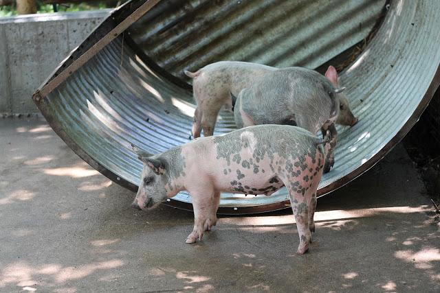 Pigs eating food