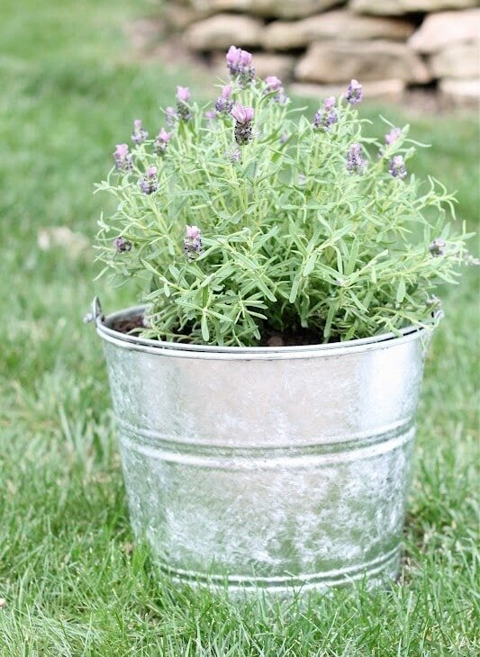 galvanized planter filled with lavender