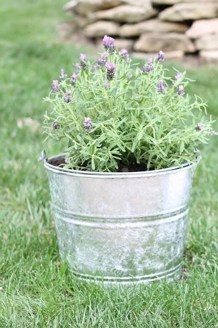 lavender in galvanized bucket