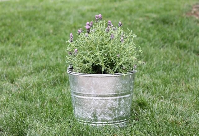 lavender in palnter sitting in grass