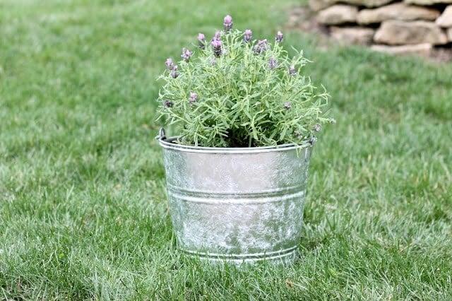 plant in galvanized planter