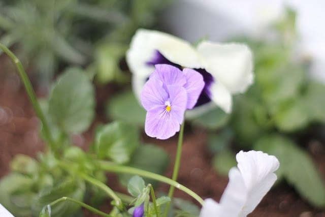 Close up image of purple pansies in a window box.