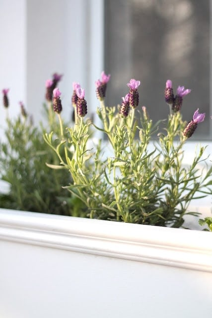 A homemade white window box filled with blooming lavender.