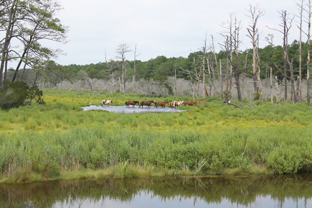 Wild horses spotted in a swampy area of Chincoteague, Virginia.