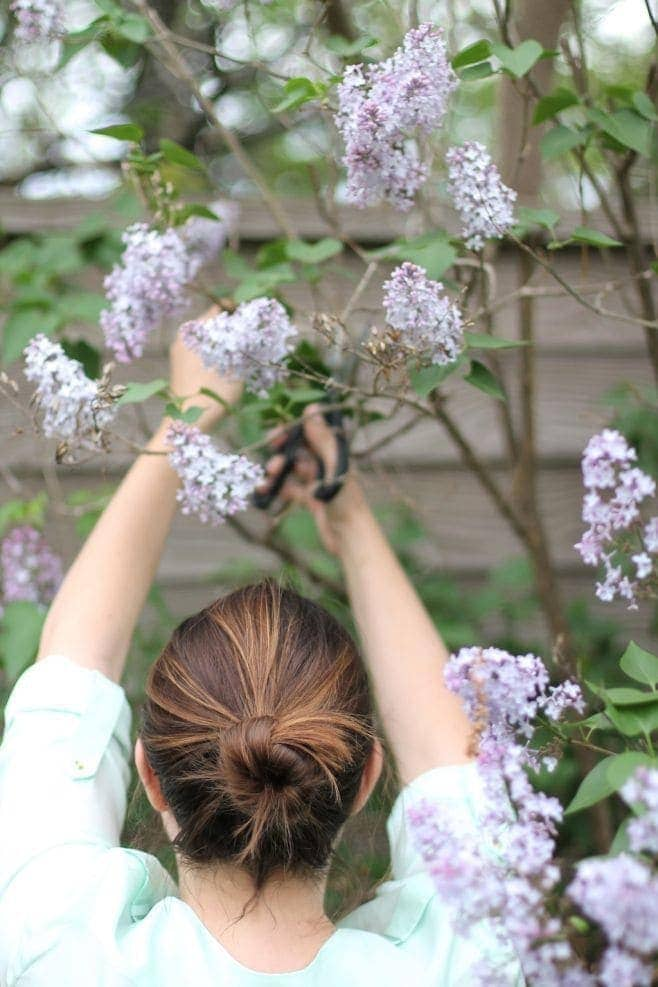 A woman cutting fresh lilac stems from a common purple lilac bush.