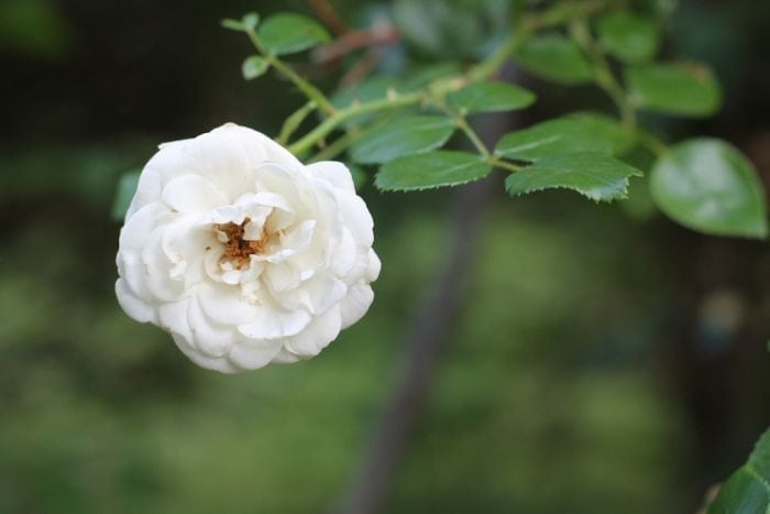 Ideas & tips for a low maintenance garden | rose garden