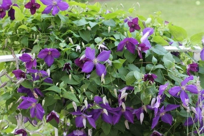 clematis - maintenance free garden ideas