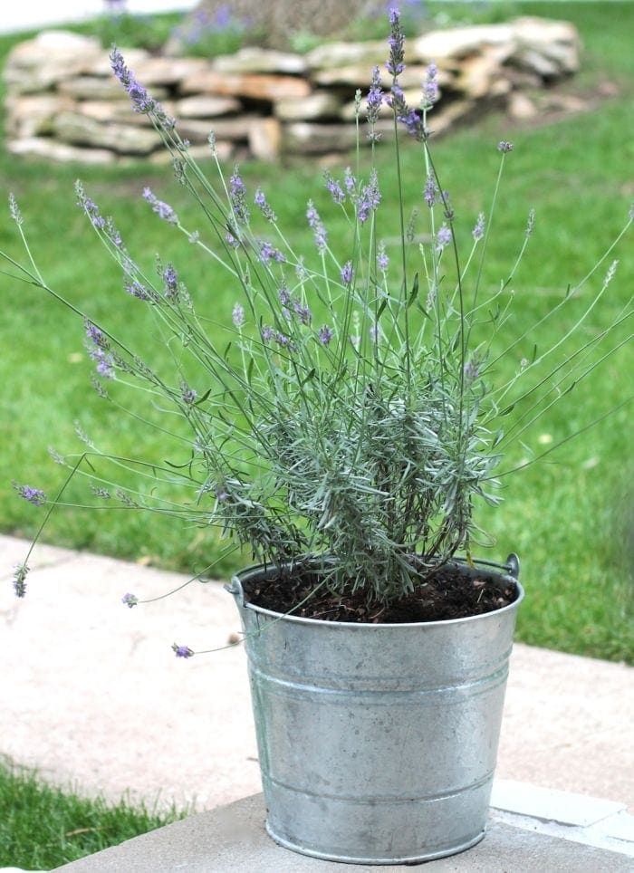 Lavender is low maintenance, drought resistant & a natural mosquito repellant