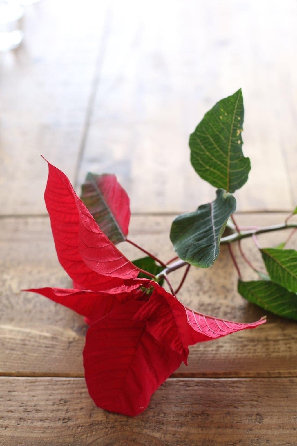 Step by step tutorial to create a gorgeous holiday centerpiece with just 1 poinsettia