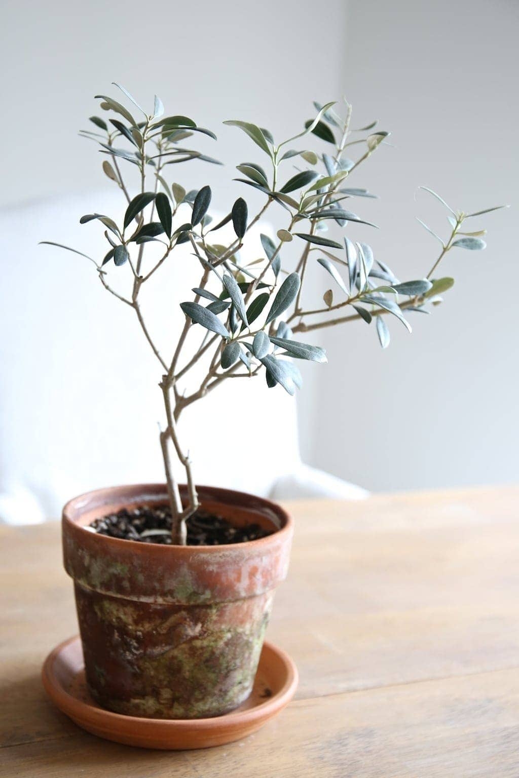 olive tree - simple home decor