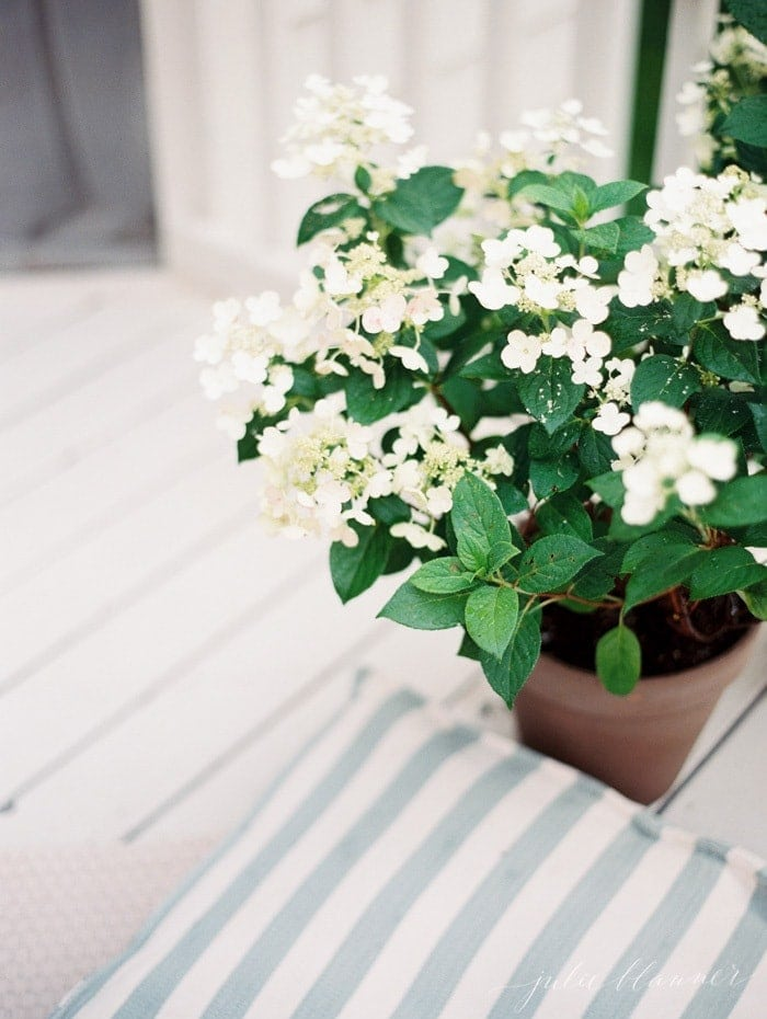 A potted hydrangea on a white deck.