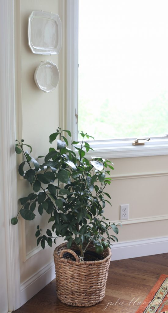 miniature lemon trees add fragrance, decor and life to your kitchen or breakfast room