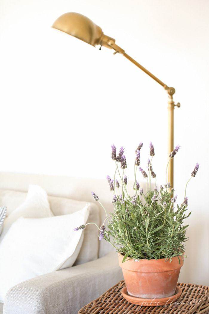 A clay pot full of English lavender on a basket side table in a living room.