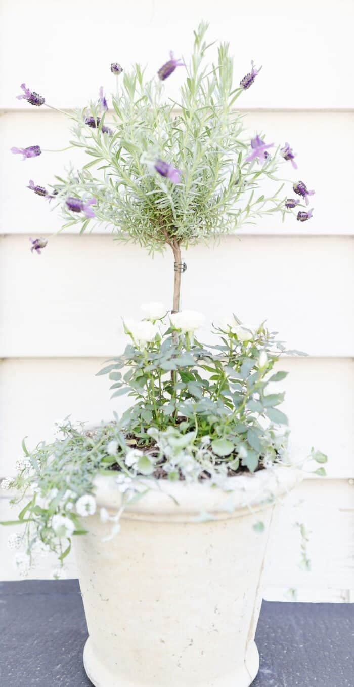 A fresh lavender topiary in a white pot, with more flowers at the base.