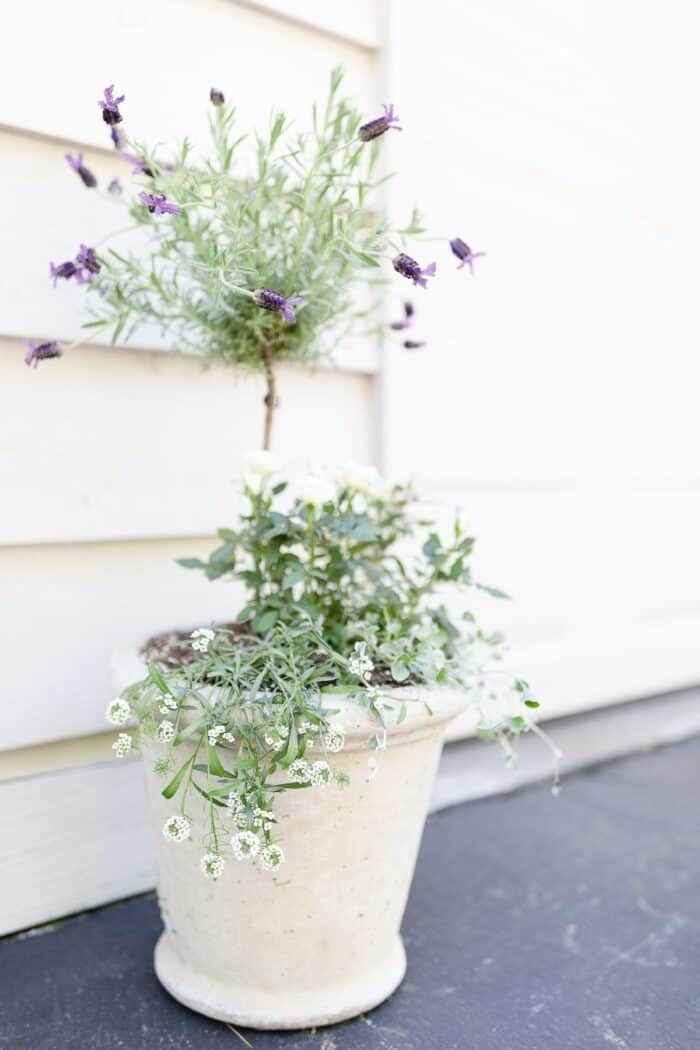 A flower pot design of a fresh lavender topiary in a white pot, with more flowers at the base.