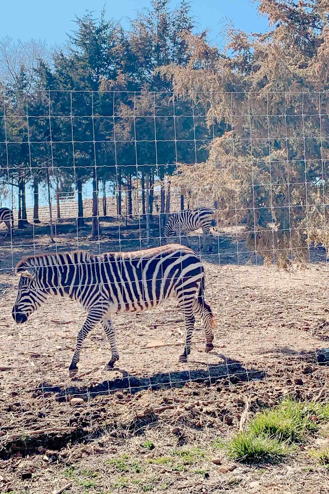Zebras standing behind zoo fencing in Branson Missouri.