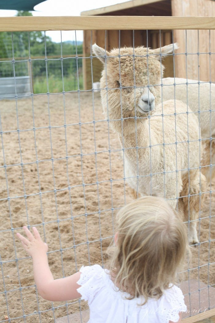 An alpaca behind a fence, with a little girl on the other side.