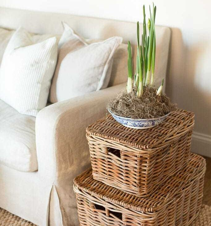 potted paperwhites / narcissus bulb tips