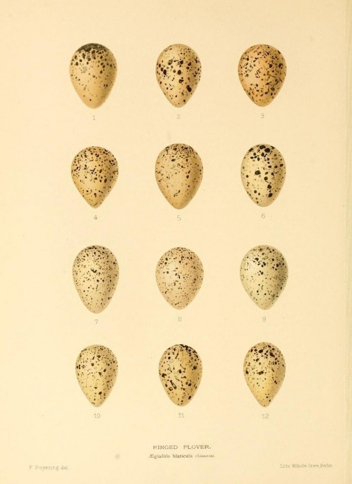 A vintage inspired antique egg print of speckled eggs on a cream background for printable art.