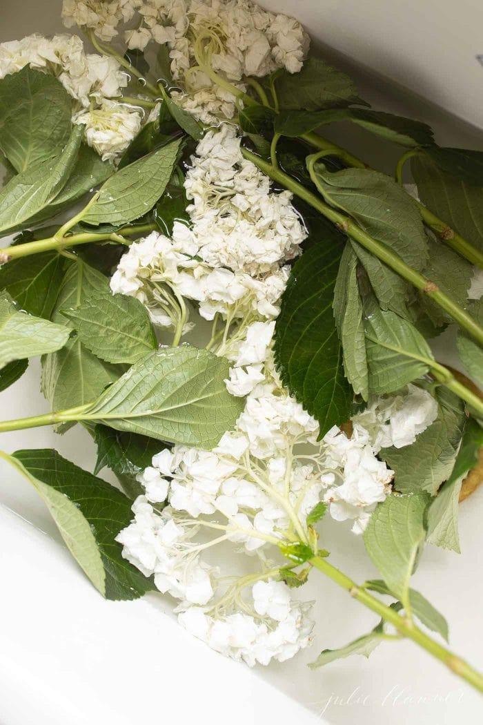 wilted hydrangea