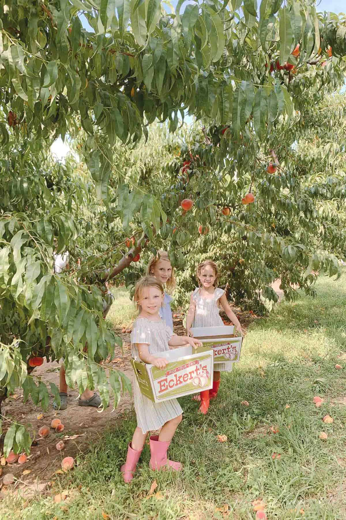 Little girls picking peaches at Eckert's farm in St. Louis.