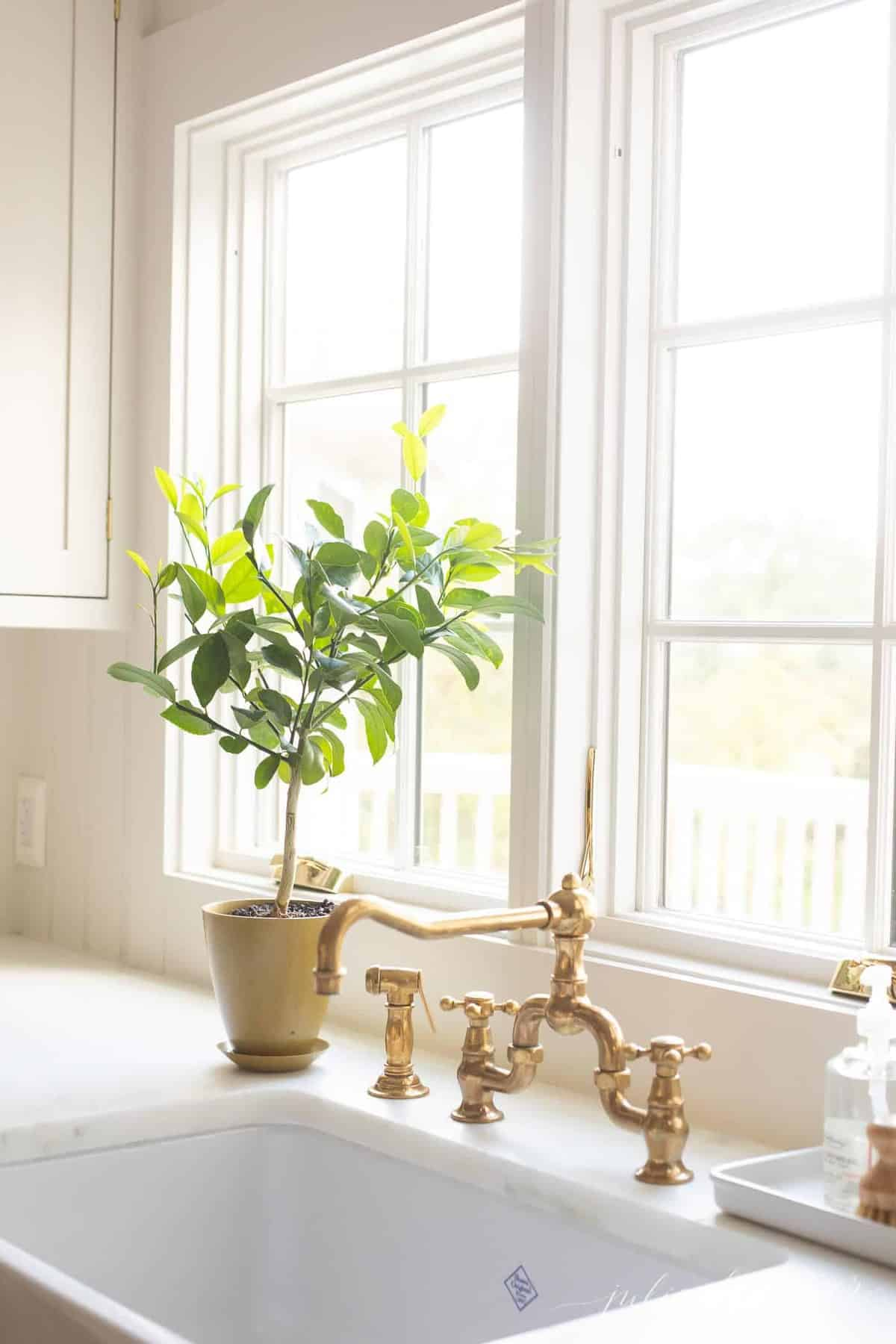 A white kitchen sink area, with a topiary style potted Meyer lemon tree.