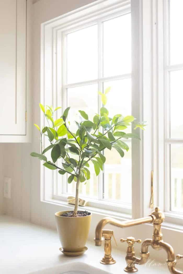 A simple kitchen sink image with a lemon tree topiary in a sunny window.