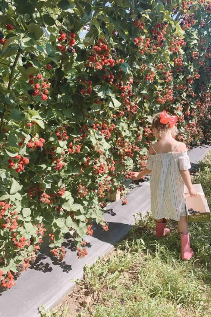 A little girl in a dress picking raspberries.