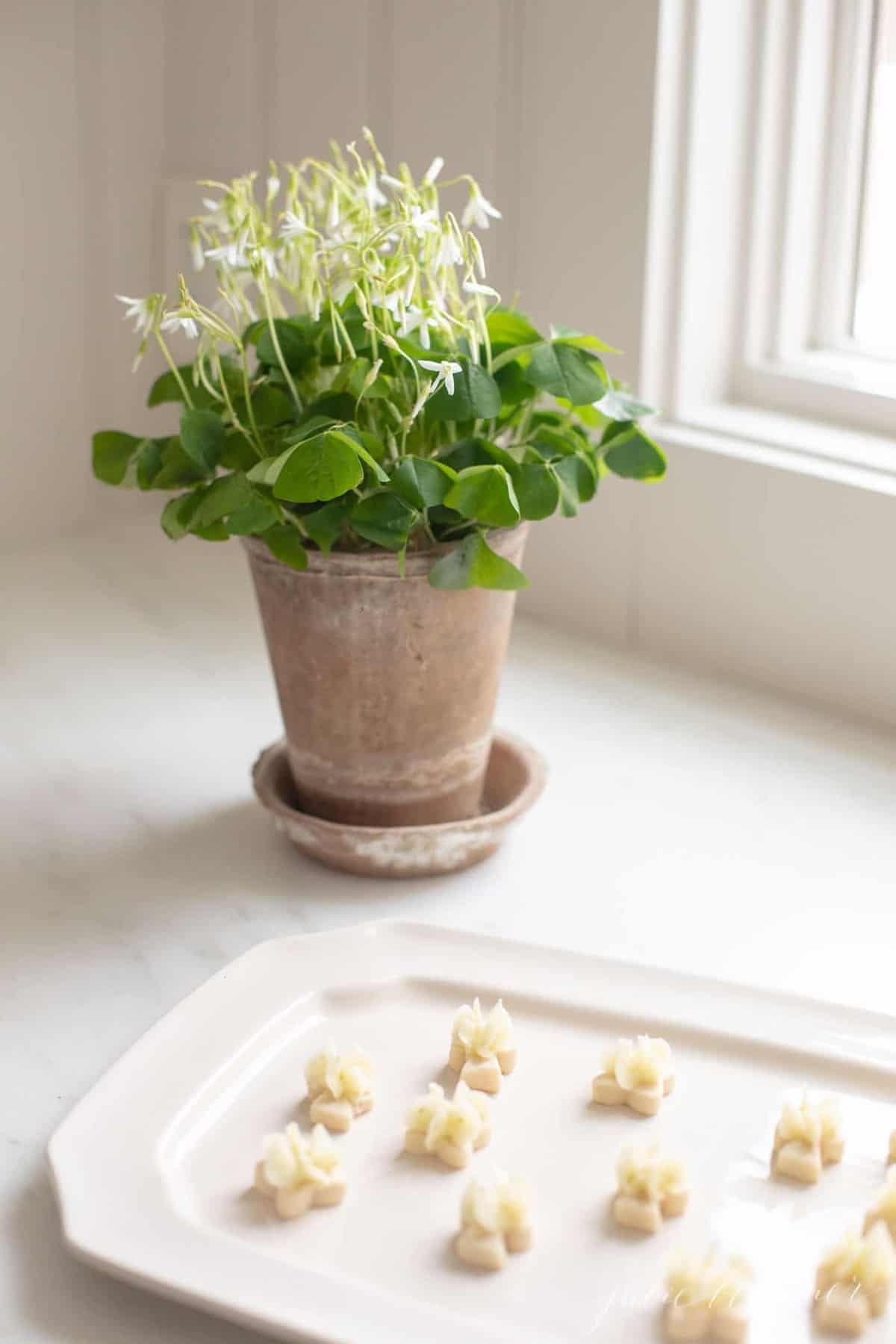 A white kitchen with a shamrock plant and a platter of tiny frosted lime cookies.