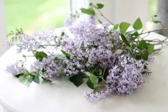 Common lilac blooms on a white table.