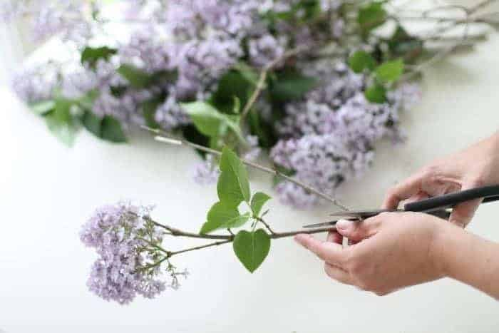 Hands trimming common lilac to create a lilac bouquet