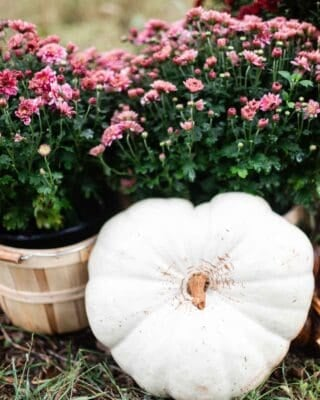 white heart shaped pumpkin resting on mums in bushel baskets