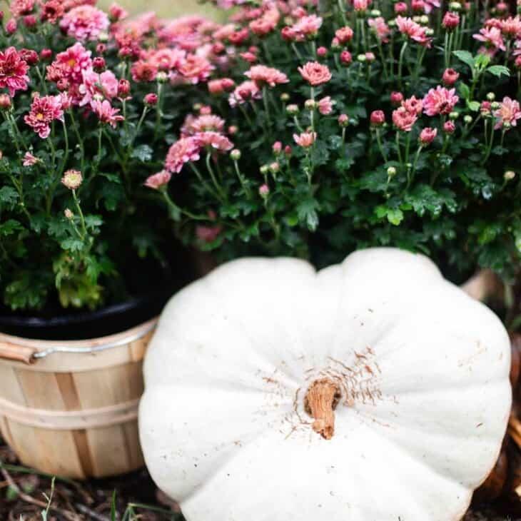 white heart shaped pumpkin resting on mums in bushel baskets