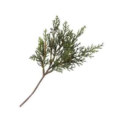 evergreen stem
