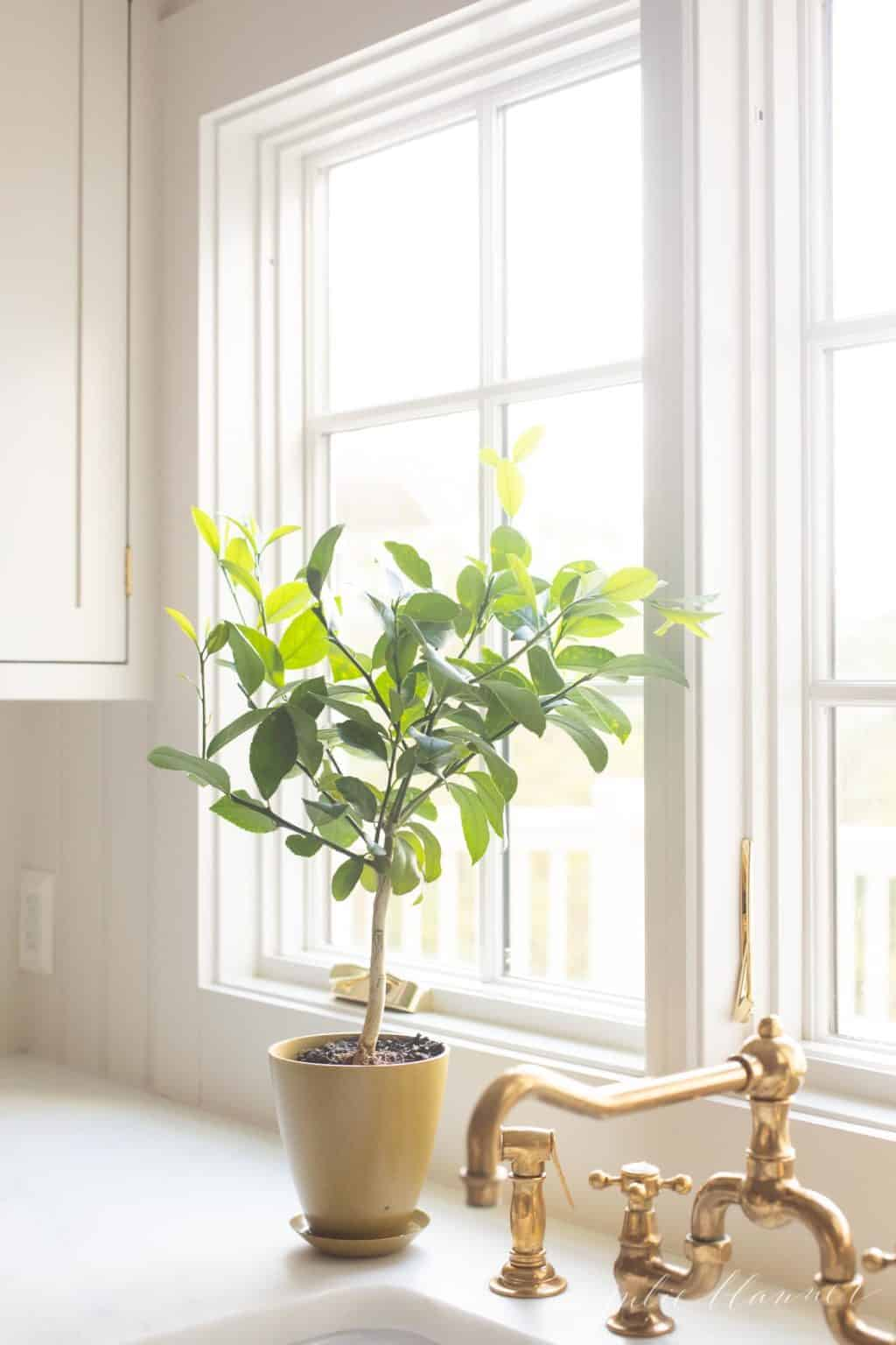 A white kitchen with a brass faucet, lemon tree in a pot in the window.