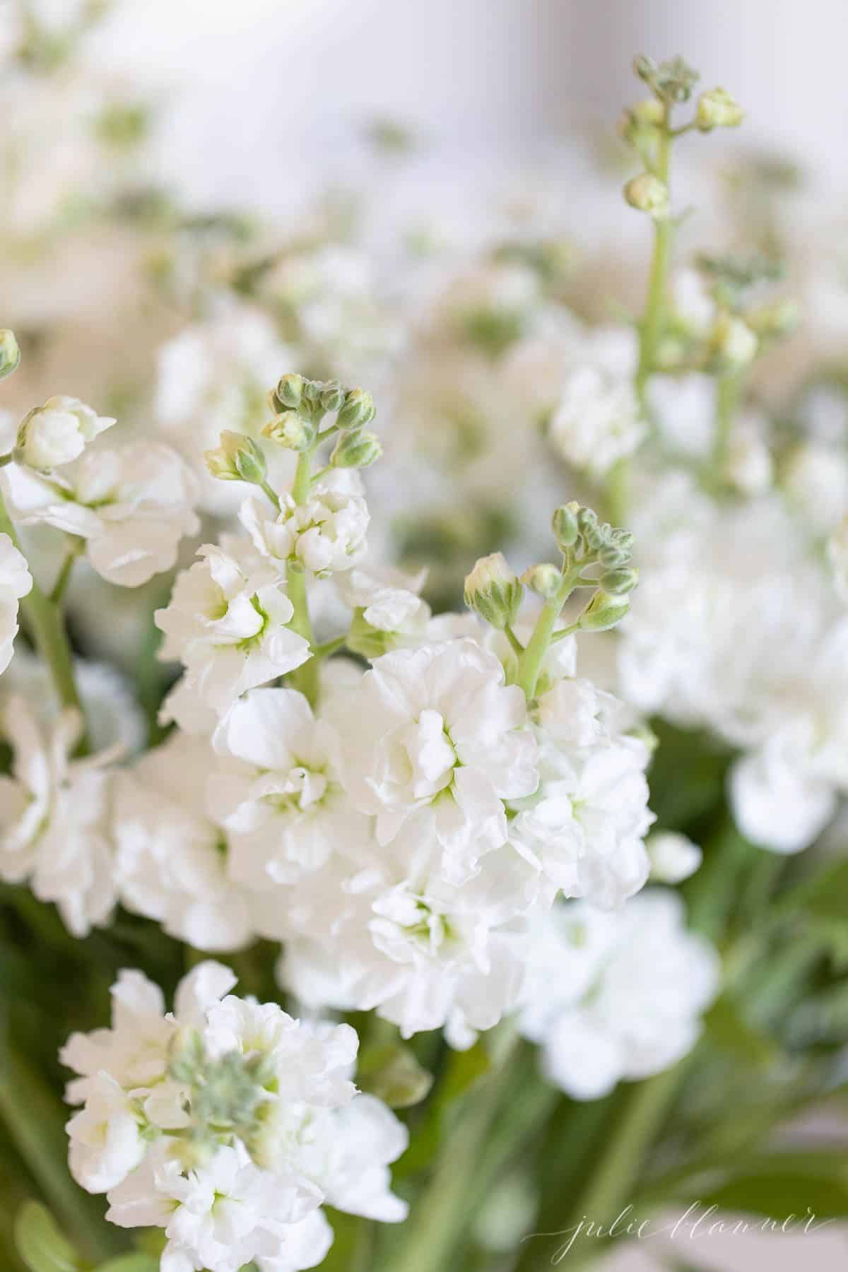 Close up of white stock flowers.