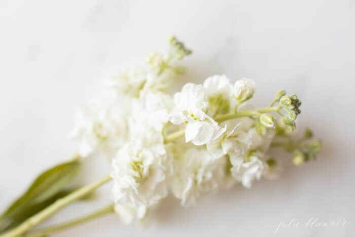 Close up of white stock flowers on a marble surface.