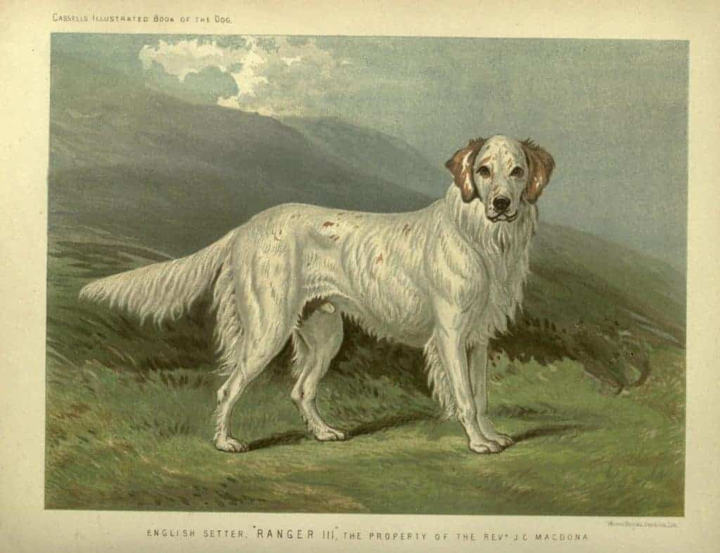 english setter with landscape behind