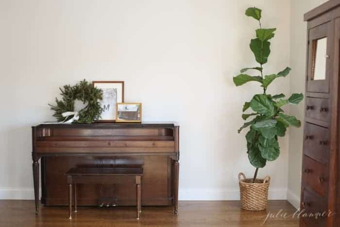 Looking into a white living room, with a vintage piano and a large fiddle leaf fig tree in the corner.