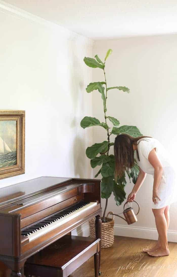woman watering fiddle leaf fig next to piano