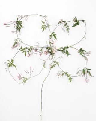 four leaf clover made from jasmine