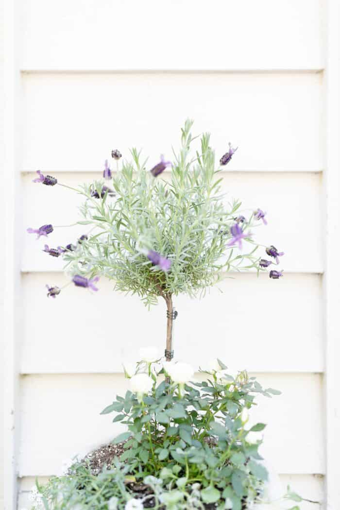 A blooming lavender tree in a white pot, with white siding behind it.