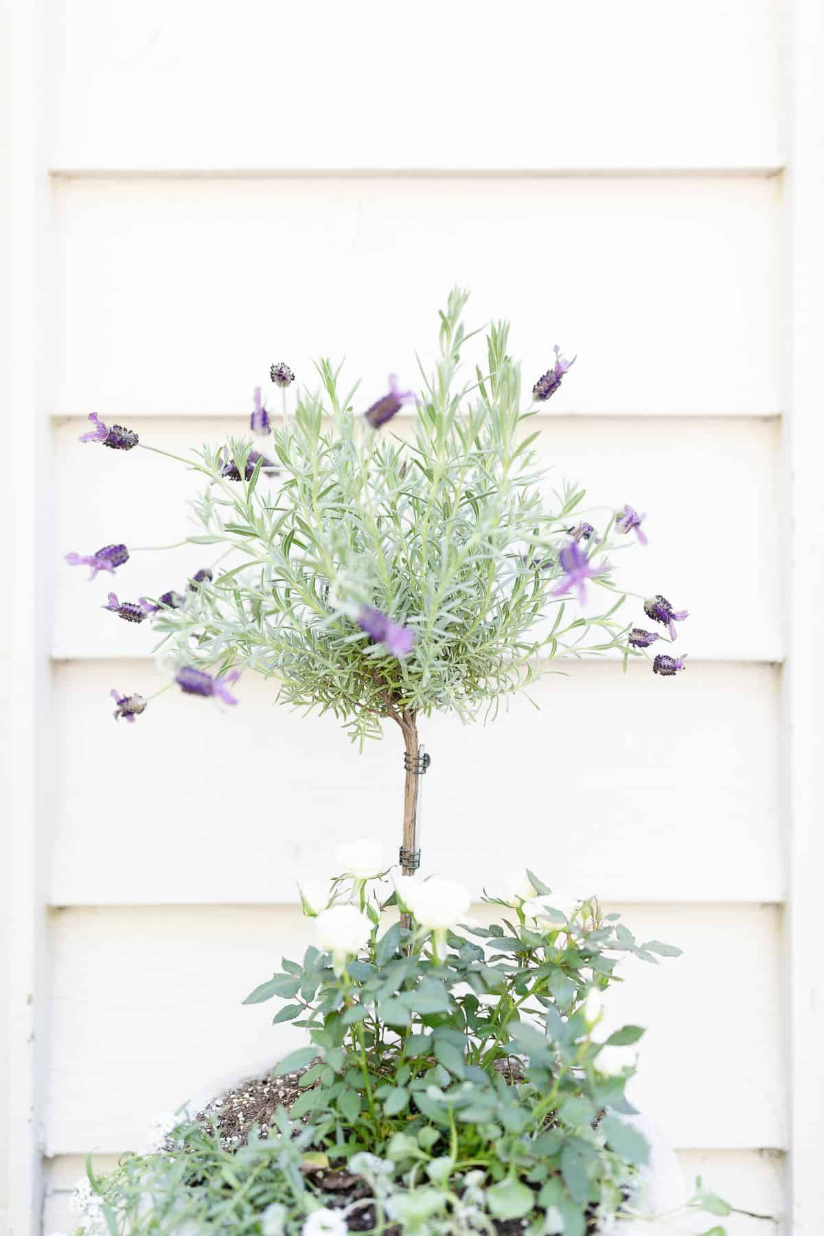 A blooming French lavender tree in a white pot, with white siding behind it.
