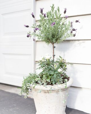 A blooming lavender topiary in front of garage doors.